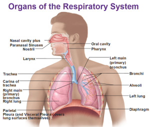 organs-of-the-respiratory-system-larynx-bronchi-alveoli-diaphragm-trachea-pharynx-paranasal-sinuses